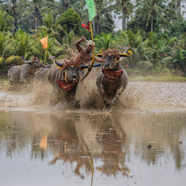 Bull Race Lampid by Nyoman Sundra - Sports & Fitness Rodeo/Bull Riding ( bull race, bali, sport, negara )