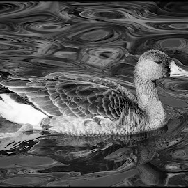 Greater White-Fronted Goose by Dave Lipchen - Black & White Animals ( greater white-fronted goose )