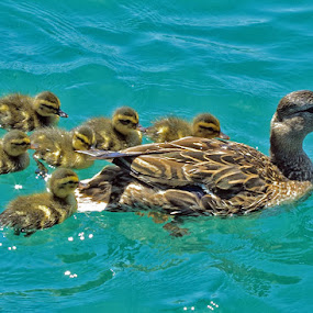 DuckFamilyOuting by Joanne Burke - Animals Birds ( ducklings, family, duck, lake, sunlight )