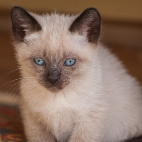 Little Cat by Rui Medeiros - Animals - Cats Kittens ( kitten, animals, cat, blue eyes, kittens, animal,  )