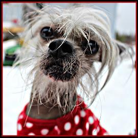 Mogie  by Leanna Leger - Animals - Dogs Portraits ( winter, beard, dog, animal )