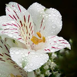 Flores tras la lluvia by Lourdes Ortega Poza - Flowers Flower Gardens ( amarilla, naturaleza, flor, primavera, blanca )