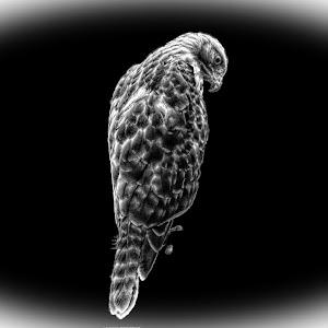 hawk 036_pe.jpg