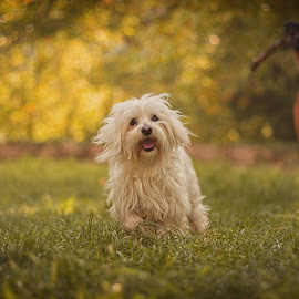 Ogi the friendly dog... by Moreno Matkovic - Animals - Dogs Running ( orange, warm, friendly, forest, cute, photo, soft, playing, canid, pet, smile, dog, runing, animal )
