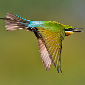 BLUE-TAILED BEE-EATER in flight.. . by Mohan Munivenkatappa - Animals Birds