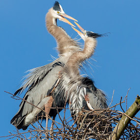 Great Blue Heron by Carl Albro - Animals Birds ( bird, great blue heron, nest, mating )