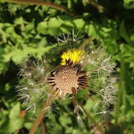Dandelion Green by Candace Penney - Nature Up Close Other plants ( dandelion, green, seeds, leaves )