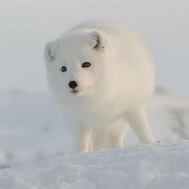 Arctic fox by Anngunn Dårflot - Animals Other Mammals