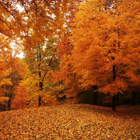 Orange Tree  by Emily Schmidt - Landscapes Forests ( orange, fall, pwcautumn, trees, leaves, nature, autumn, abscission, folliage,  )