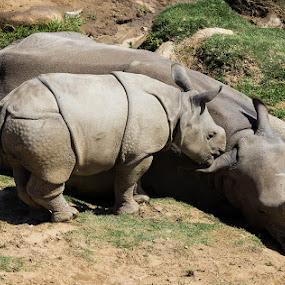 Rhino by Mi Mundo - Animals Other Mammals ( rhino, rock rhino )