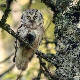 Dinner time...... by Lillian Knutsen Aspås - Animals Birds ( birds of prey, adult owl, birds, boreal owl, owls )