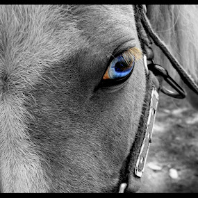 Blue Eyed Girl by Carly Stine - Animals Horses