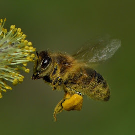 Great diligence by Bencik Juraj - Animals Insects & Spiders ( flying, bee, insect, close up )