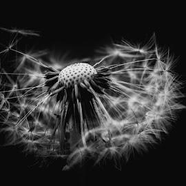 Broken beauty  by Maria Berggren - Black & White Flowers & Plants ( macro, blackandwhite, nature, fineart, flower, canon )