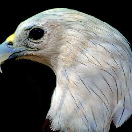 Eagle by Asif Bora - Animals Birds