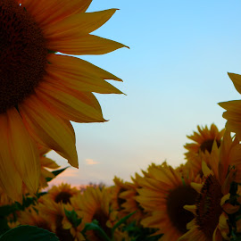 Sunset beyond the Sunflowers by Kristine Nicholas - Novices Only Flowers & Plants ( clouds, green, sunflower, leaf, yellow, leaves, landscape, sun, macro, sky, nature, blue, nature up close, cloud, pink, flowers, flower )