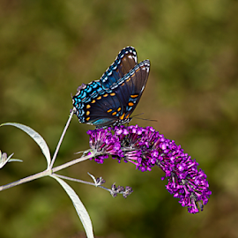 Red-spotted Admiral by Susan Farris - Animals Insects & Spiders ( spots, blue, wings, bug, insect, animal )