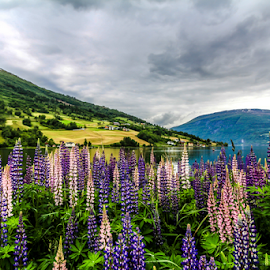 by Mandy Hedley - Landscapes Travel ( mountains, olden, snow, lupins, travel, flowers, fjord, norway,  )