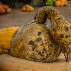 Snake gourd by Teresa Husman - Nature Up Close Gardens & Produce ( dallas, pumpkins, arboretum, statuary )