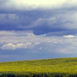 Canola meets clouds by Rose McAllister - Landscapes Prairies, Meadows & Fields ( clouds, field, canola, yellow )