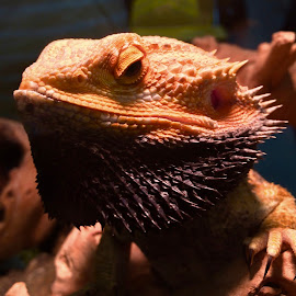 The Bearded Dragon King! by Rick Luiten - Animals Reptiles