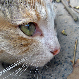 by Areej Khalid - Animals - Cats Portraits ( eye, rest, hair, flur, green eyes, cat, animal, silver, quiet, portrait, brown, mustache,  )