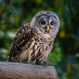 Barred Owl by Darren Sutherland - Animals Birds