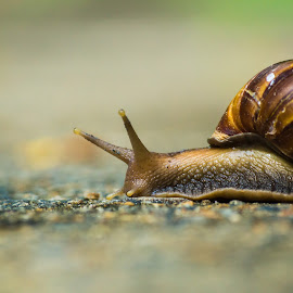 The Giant African Snail by Naveen Joyous - Animals Reptiles ( nature, wildlife, reptile, snail, close up )