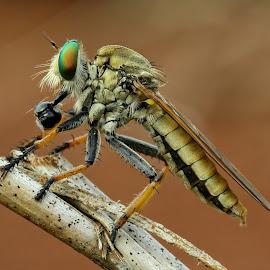 Robberfly / Asilidae by Djoko Widodo - Novices Only Macro