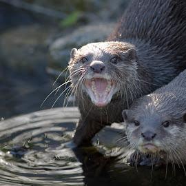 Eurasian Otter by Ian Nicol - Animals Other Mammals