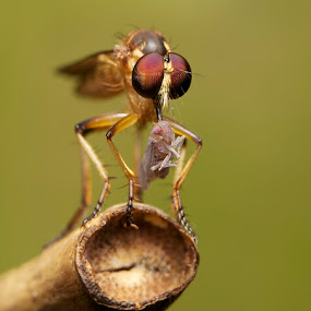 Robber fly by Sharulfizam Adam - Animals Insects & Spiders