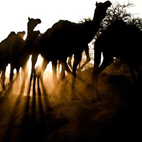 At Pushkar fair 2012 by Sudharshun Gopalan - Animals Other ( camel, sudharshun.gopalan, pushkar, rajasthan, india, trader )