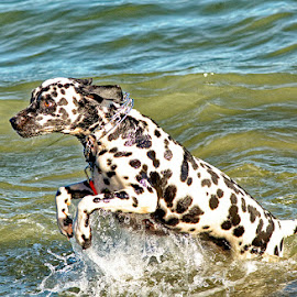In the water by Radu Eftimie - Animals - Dogs Playing ( playing, water, dog )