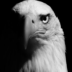 The Eye of The Bold Eagle  by Stephanie Veronique - Animals Birds ( bird, pwc tagged birds, b&w, bird of prey, bold eagle, animal,  )