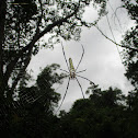 Giant orb weaver