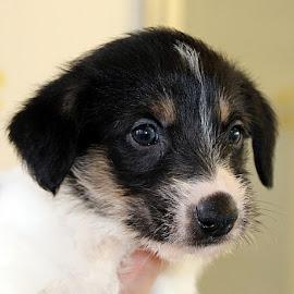 Cutie Pie! by Chrissie Barrow - Animals - Dogs Puppies ( pup, white, portrait, eyes, soft, pet, ears, fur, brown, puppy, dog, lurcher, nose, black )