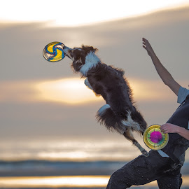 When the sun hits my frisbee by Ruud Lauritsen - Animals - Dogs Playing ( beachfrisbee, dogfrisbee, summer fun, doginaction, dogscanfly )
