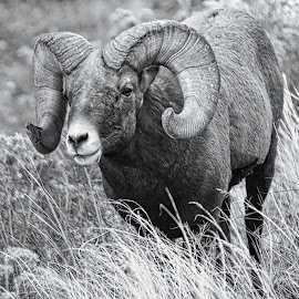Waterton Ram by Bruce Newman - Animals Other Mammals ( black and white, action, nature up close, wildlife, bighorn,  )