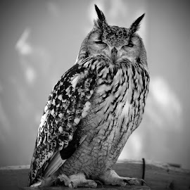 Dormant by Marco Bertamé - Black & White Animals ( bird, bird of prey, beak, owl, ears, eyes closed, feathers )