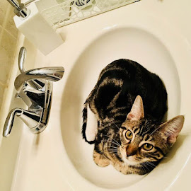 Sink Kitty by Lori Fix - Animals - Cats Kittens