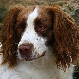 Did Someone Say 'Rat'? by Chrissie Barrow - Animals - Dogs Portraits ( springer spaniel, female, pet, white, ears, dog, nose, tan, portrait, eyes )