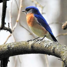 Eastern bluebird by Mary Gallo - Animals Birds