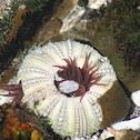 Sea Anemoney