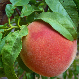 Peachy Keen by Dawn Hoehn Hagler - Food & Drink Fruits & Vegetables ( farm, fruit, apple annie's, peach tree, peach )
