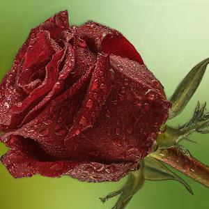 roža-11.jpg