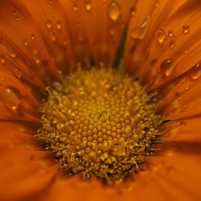 Art of water drops… by Afzal Khan - Nature Up Close Flowers - 2011-2013 ( orange, water drops, dew, beautiful, daisy, symmetric, close up, macro, pattern, details, marigold, drops, flower, rain )