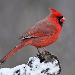 Northern Cardinal by Jen St. Louis - Animals Birds ( red, bird, norther cardinal, perched,  )