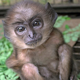 The Kid by Udaybhanu Sarkar - Animals Other Mammals ( mammal, monkey, eyes, animal, kid )