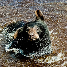 Yearling Bear taking a bath by Kevin Stacey - Animals Other Mammals