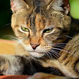 by Jessica Troxal - Animals - Cats Portraits